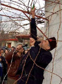 Първа резитба в деня на св. мъченик Трифон. Източник:  aktualno.com